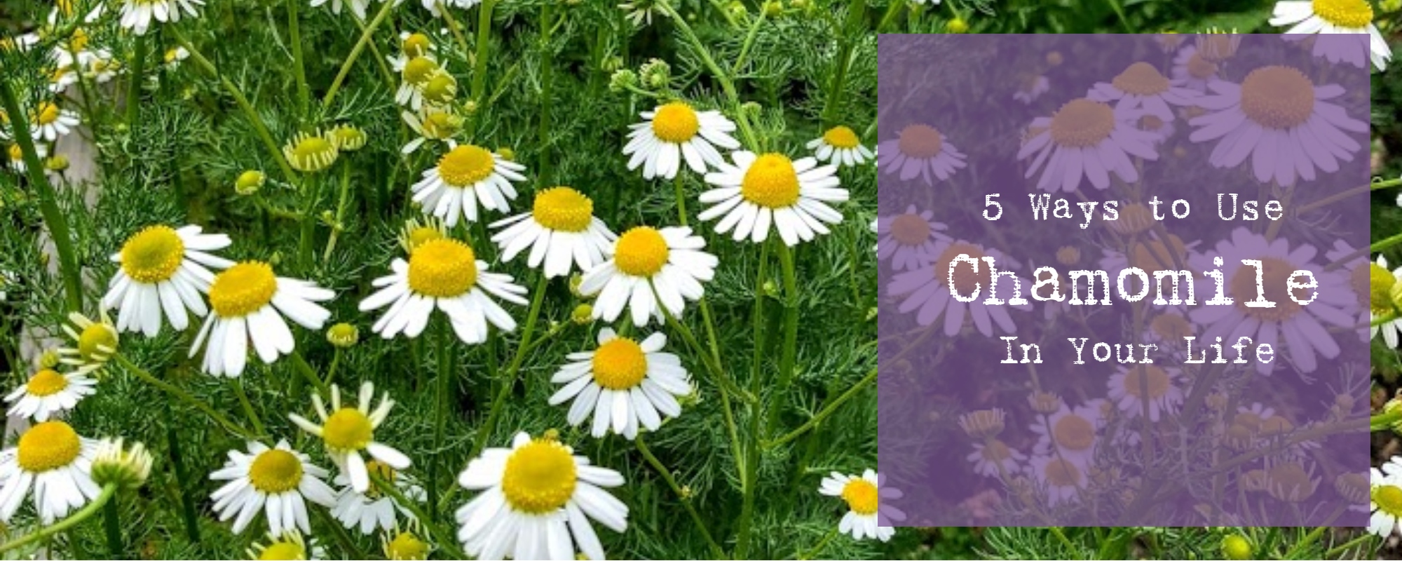 5 ways to use chamomile in your life herb ether reading time 6 minutes izmirmasajfo